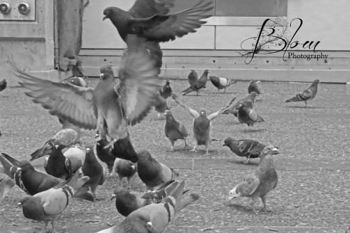 vancouver-pigeon-136
